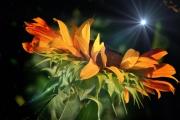 sunflower-sparkle